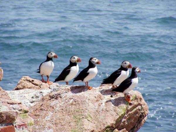 atlantic-puffin_pd 2 - Copy
