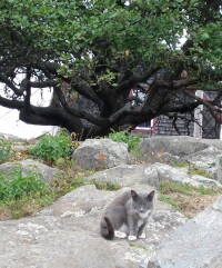 monhegan-cat