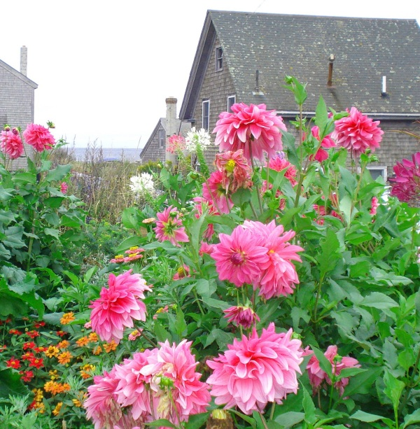 monhegan-flowers-copy
