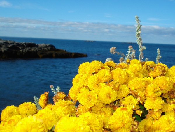 monhegan-marigolds-copy