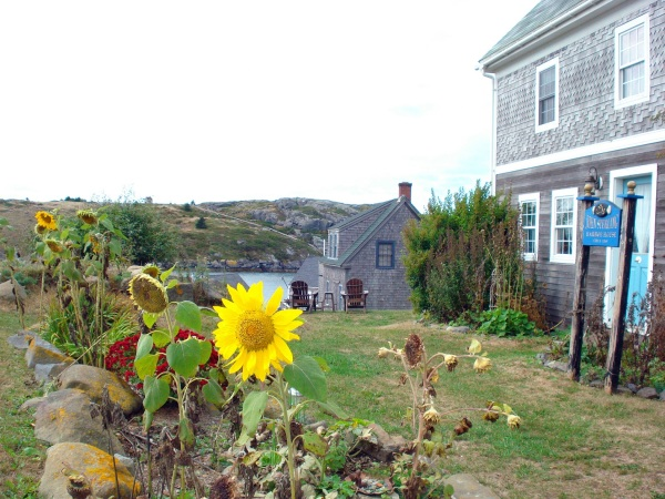 monhegan-sunflower-copy