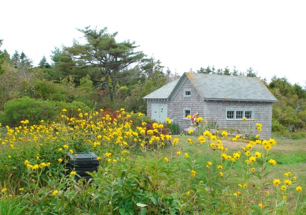 monhegan-yellow-flowers-copy
